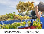 Man Harvesting Grape