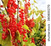 Ripe Red Currant Berries In Th...