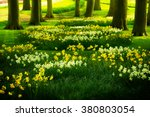 Grass Lawn With Daffodils  In...