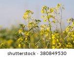 Wild Mustard Flowers  Closeup
