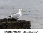 Small photo of American Herring Gull, Larus smithsonianus