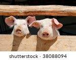 Piglets On A Farm