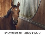 Stock photo front view portrait of an attentive curious chestnut young stallion in a stable 380914270