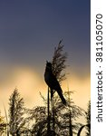 Small photo of singing bird and sunset Great Reed Warbler / Acrocephalus arundinaceus