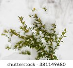 Boxwood Bush Winter Day In Th...