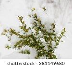 Boxwood Bush Winter Day In Th...