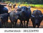 Thai Buffalo Walk Over The...
