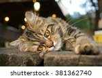 Feeling Of Baby Maine Coon Cat...