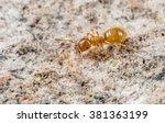 Yellow meadow ant - stock photo