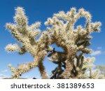 Teddy Bear Cholla cactus, Cylindropuntia bigelovii, spiny segments against blue desert sky