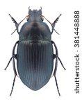 Small photo of Beetle Amara eurynota on a white background