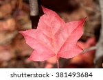 A Dying Red Maple Leaf Just...