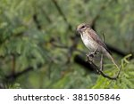 isabelline shrike perched on a... | Shutterstock . vector #381505846
