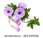 Isolated Morning Glory With...