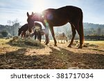 Four Wild Horses Grazing In A...
