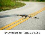 An American Alligator Crosses ...