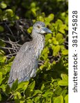 Small photo of Yellow-crowned Night Heron, Nyctanassa Violacea Birds of florida