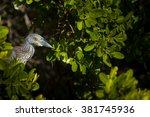 Yellow Crowned Night Heron ...