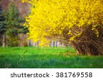 Yellow Forsythia Bush And Gree...