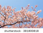 cherry blossoms with clear blue ...   Shutterstock . vector #381800818