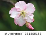 Pink With White Cherry Blossoms ...