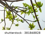sal tree buds with sky... | Shutterstock . vector #381868828