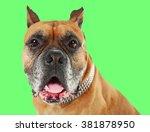 boxer dog on green background   Shutterstock . vector #381878950