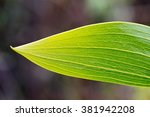 Small photo of Leaf (expansion of petiole) of Acacia koa