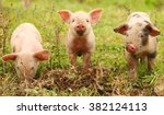 Three Cute Piglets On Farm