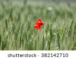A Lone Red Poppy In A Field Of...