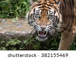 Sumatran Tiger Dilated Eyes