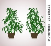 Ficus Indoor. Color Planting O...