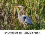 great blue heron | Shutterstock . vector #382157854