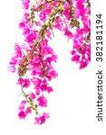 Bougainvilleas Or Paper Flower...