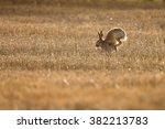 Stock photo hare running in field 382213783