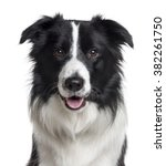Close up of a border collie...