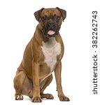 Stock photo boxer looking at the camera and sticking the tongue out isolated on white 382262743