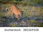african leopard stalking prey... | Shutterstock . vector #382269328