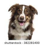 Stock photo close up of a border collie sticking the tongue out and looking at the camera isolated on white 382281400