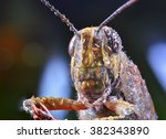Small photo of Acridoidea, wildlife, macro, grasshopper