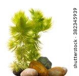 Ceratophyllum Demersum   An...