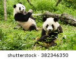 two pandas has lunch  giant... | Shutterstock . vector #382346350