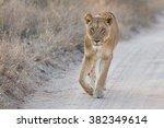Lioness Walking Carefully Alon...