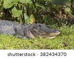 Alligator  Florida Everglades ...