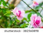 Gertrude Jekyll Rose Or Pink...