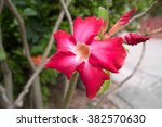 Small photo of Red Impala Lily 1 is fully bloomed and 2 are buds - close up look (Desert Rose or Adenium multiflorum)