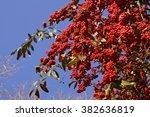 Firethorn   Pyracantha Coccine...