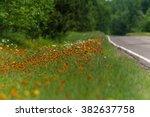 Orange Hawkweed  Pilosella...
