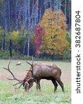 Elk In Cataloochee Valley In...