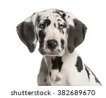 Stock photo close up of a great dane puppy in front of a white background 382689670